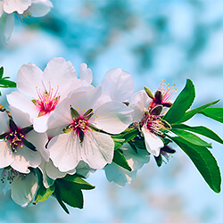 Planta Almendro