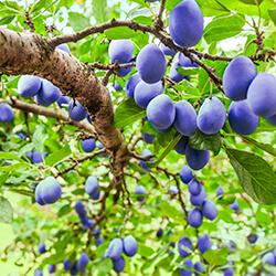 Planta Ciruelo