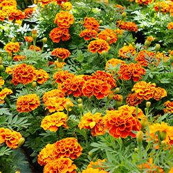 Planta Clavel