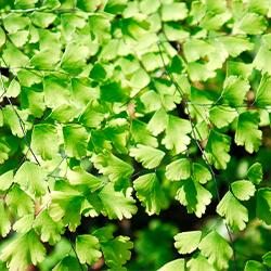 Planta Culantrillo