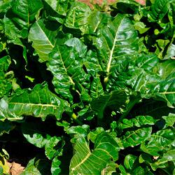 Planta Espinaca