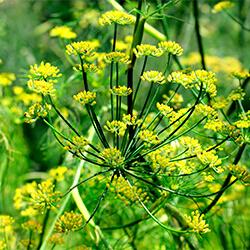 Planta Hinojo