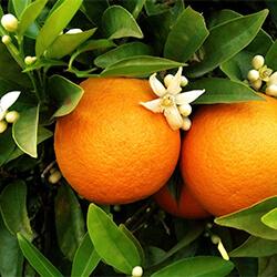 Planta Naranjo