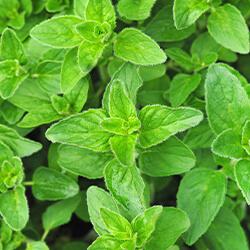 Planta Orégano