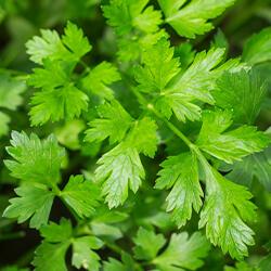 Planta Perejil