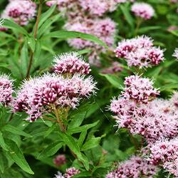 Planta Valeriana