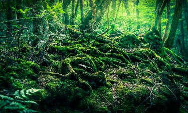 La leyenda del Aokigahara, el bosque de la Muerte